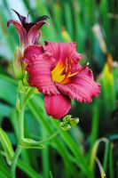 Red Day Lily by LucieG-Stock