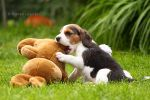 beagle puppy by Maaira
