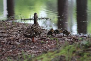 Family of Ducks 3 by eillahwolf