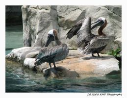 Brown Pelicans by picworth1000wrds