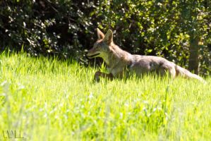 Wild Coyote by WesHPhotography