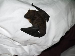 Bat (landed on my bed at night...) by RavienneArt
