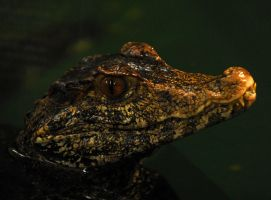 Curvier's Dwarf Caiman by Shadow-and-Flame-86