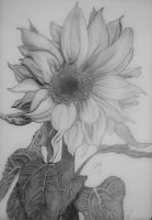 Sunflower by Maarel