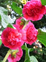 Pink Hollyhock by Autumn-Gracy