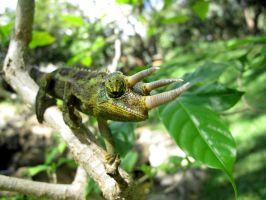 The Jackson Chameleon by X5-442