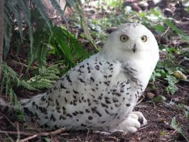 Snowy owl by Elegia-stock