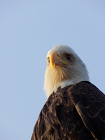 Bald Eagle by boogiepaw