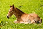 Young Chestnut Foal Stock 1 by Venari-Stock