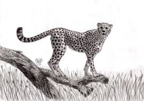Cheetah Sketch by Akuma-wolf
