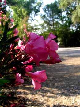 Nerium oleander in Olympia. by shapethesense