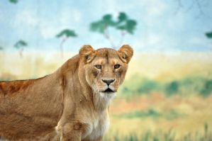 African Lion.9. by HecklingHyena