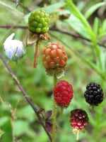 Dewberry Growth by dproberts