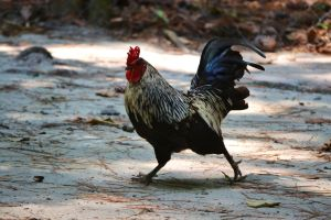 Waccatee Zoo Rooster 4 by MrsChibi