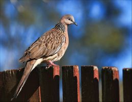 Spotted Dove. by Firey-Sunset