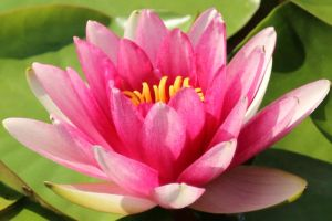 Water lily Stock 27 by Malleni-Stock