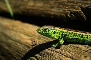 Green lizard by lazureblood