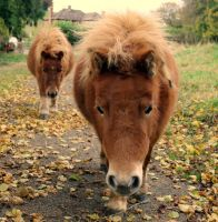 Shetland Ponies by PhotographyisArt123