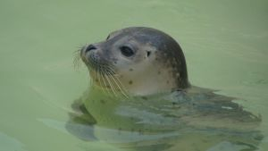 Common seal by Lot1rthylacine