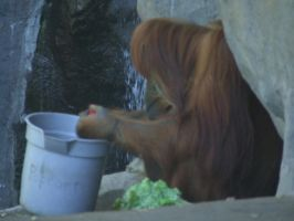 Orang with a bucket by dtf-stock