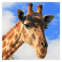 Giraffe by Garelito-Photos