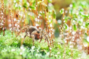 Spider is walking on wet moss by Dipsiwow