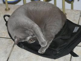 A classic: Cat on a bag II Nap time by Goldie4224