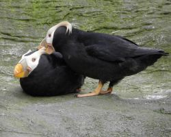 Preening Puffin Pair by Canislupuscorax