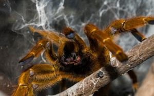 My lovely spider by Pterinochylus