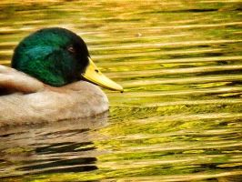 Duck in Motion 2 by Eccentric17