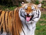 Bengal Tiger Stock 2: Scenting Behavior by HOTNStock