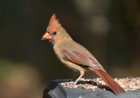 Female Cardinal 11-5-12 by Tailgun2009