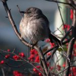 Mockingbird in Winterberry by dancinghorseart