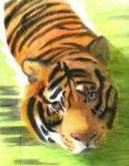 Swimming tiger (realism practice) by LuckyStarhun
