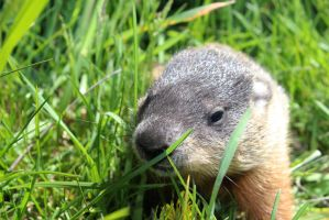 Baby Groundhog 2 by Accyber