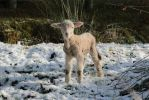 Lambs first snow by Aroha-Photography