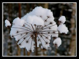 Stars in the snow... by Yancis