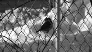 Bird in a Fence by Msquare13