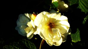 Self-sown Rose by graphic-rusty