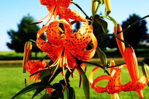 Tiger Lily by Animal-Lover-161