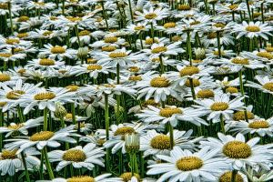 Field of Daisies by pubculture