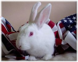 American Rabbit by Possumsgurl