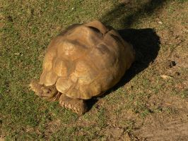 Tortoise by RiverKpocc