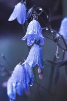 Rainy day harebells by Thunderi