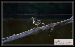 Wood Duck by DesignKReations