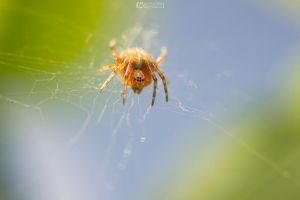 Macro Little Spider 2 by aleexdee