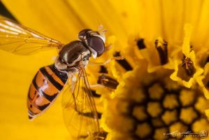 Hover Fly by ProcessedPixels
