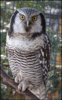 Northern Hawk Owl by Tienna