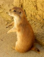 Prairie Dog by DragonHaven42