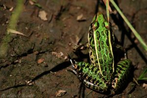 Southern Leopard Frog by tarheel4life